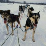 A team of Alaskan sled dogs anxiously await the order to start running.